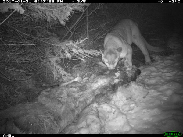 cougar-with-caught-elk