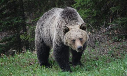 Wisconsin Hunter Survives Grizzly Attack