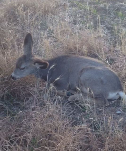 Montana Officials Identify Suspects After Eight Mule Deer Found Illegally Shot with Shotgun