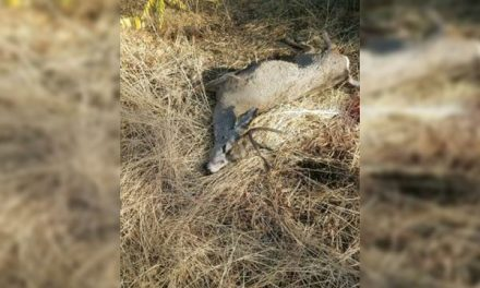 Aggressive Buck Dispatched After Attacking Marathon Runners