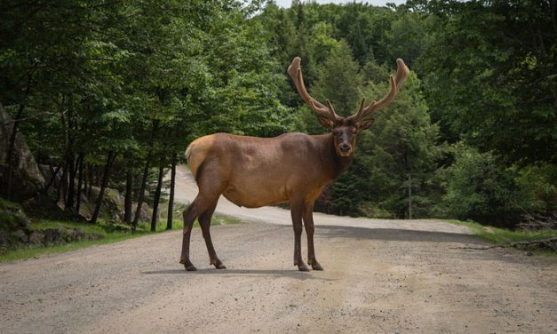 South Dakota Officials Propose Increase in Elk Tags to Battle CWD