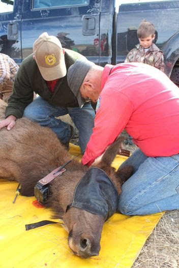 Wyoming Officials Looking for Help in Solving Two Elk Poaching Cases