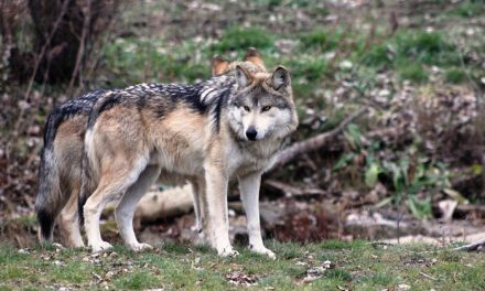 After Killing Two Pack Members, Washington Officials Suspend Action Against Wolf Pack