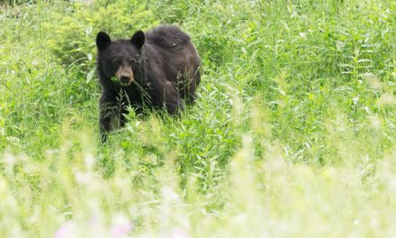 Black Bears Return to the Eastern Nevada Landscape