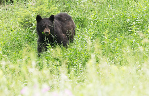 Black Bears Return to the Eastern Nevada Landscape