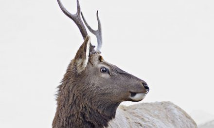 Healthy California Elk Herds Call for Updated Management Plan