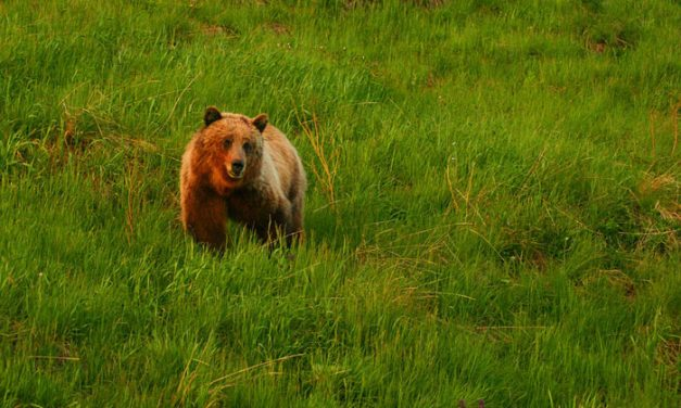 Grizzly Bear Attacks Elk Hunter & Guide in Wyoming