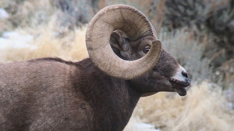 Bighorn-sheep-mouth-disease-in-Yellowstone-national-park