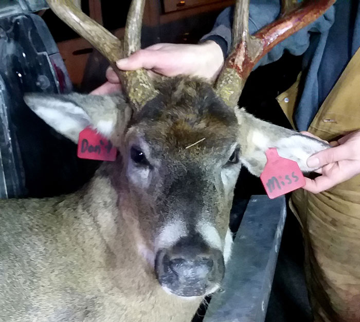 Minnesota Buck Harvested with Ear Tags Reading 'Don't Miss'