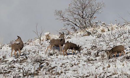 Special CWD Mule Deer Hunt Proposed by Montana FWP