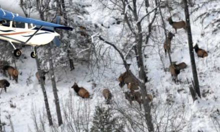 Look Up!  It's Elk Survey Season in Michigan