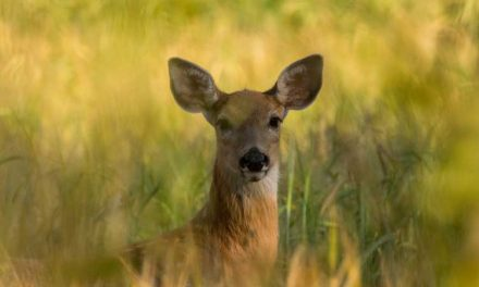 The Continued Spread of CWD: Cases in Missouri, Texas, Pennsylvania and Arkansas
